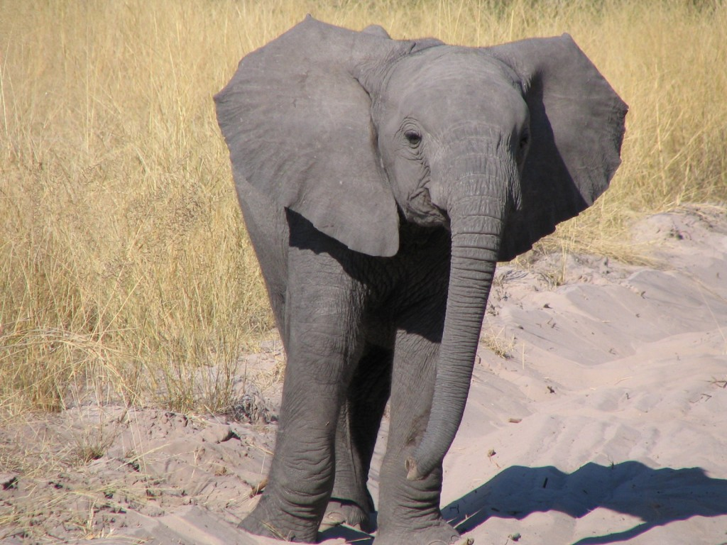 Baby elephant, Botswana (T. Matson)