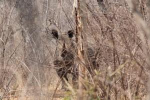 Female white rhino, Save Valley Conservancy