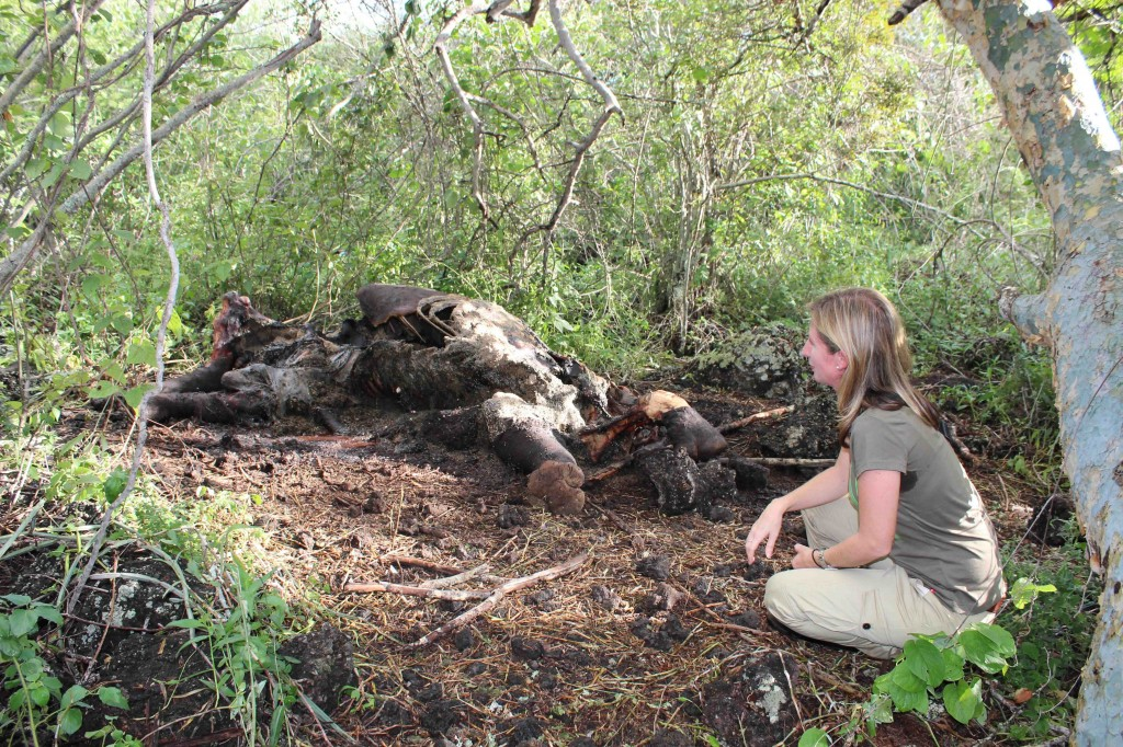 I take in the remains of a snared rhino in the Chyulu Hills - heart break