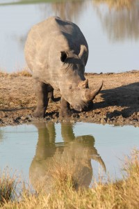 A rare white rhino (T. Matson)