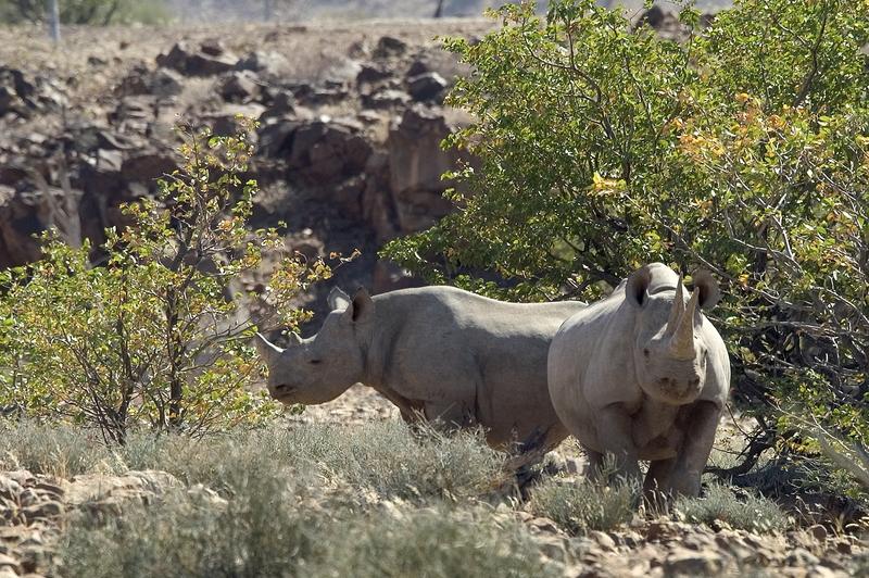 Black rhinos, Palmwag, Namibia (credit: Wilderness Safaris)