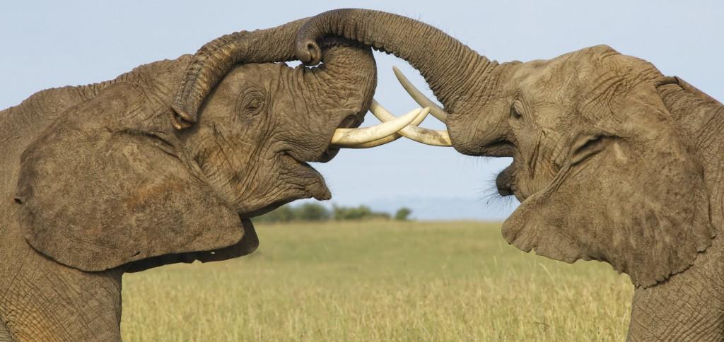 Elephants, Maasai Mara