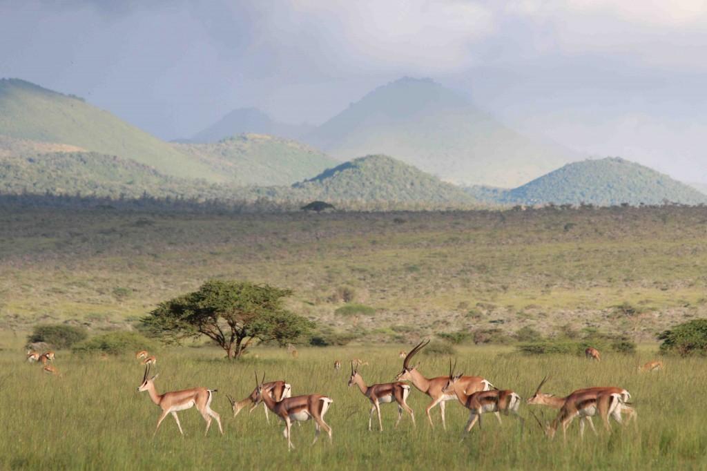 Gazelles, Ol Donyo, Kenya