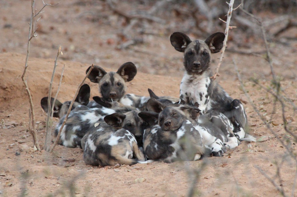 African wild dog pups, Save Valley Conservancy, Zimbabwe (Photo: Tammie Matson)