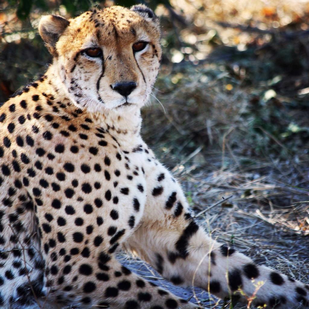 cheetah lowres