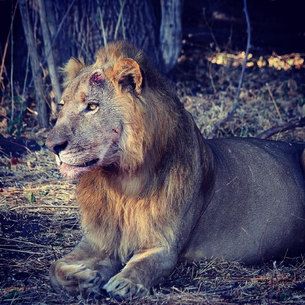 war lion lowres