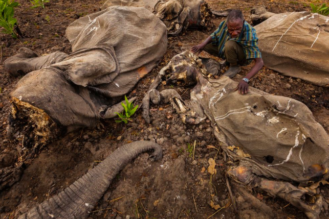 Scenes of devastation like this are becoming increasingly common in Africa, with 2/3 of Central Africa's elephants having been illegally killed in the last decade (credit: National Geographic)