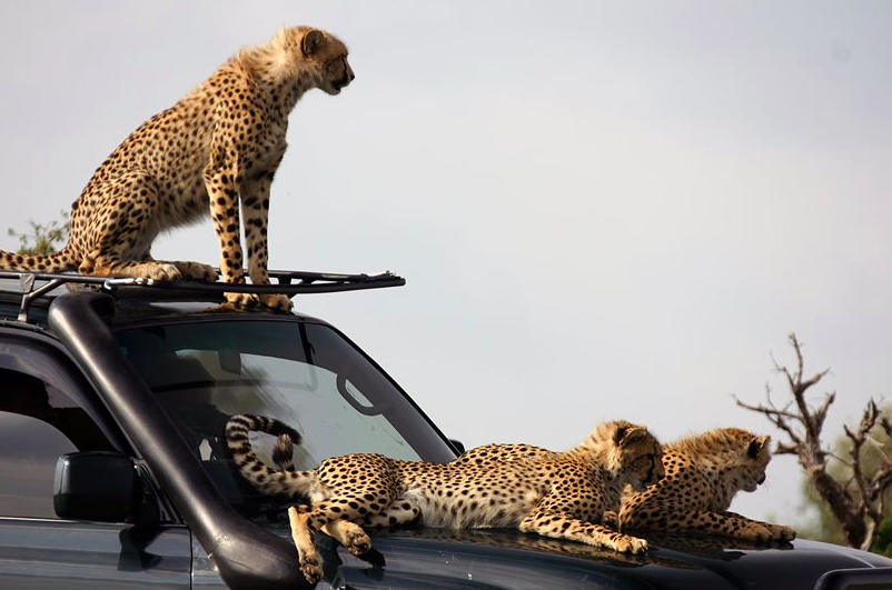 Cheetahs in the Maasai Mara (credit: Asilia)