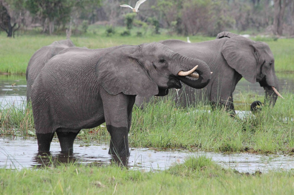 Elephants in the Okavango, early green season