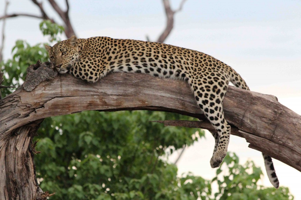 An amazingly relaxed female leopard let us watch her for over an hour just before sunset