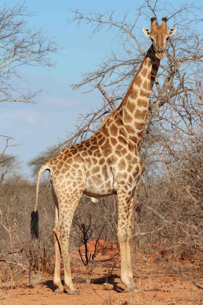 Giraffe in Zimbabwe (credit Tammie Matson)