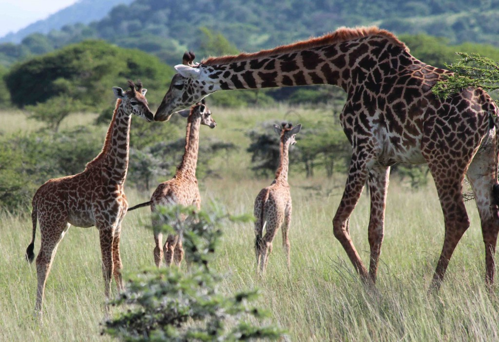 Giraffes in Kenya (credit Tammie Matson)