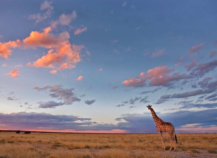Giraffe in Etosha National Park, Namibia, (credit: Ann and Steve Toon)