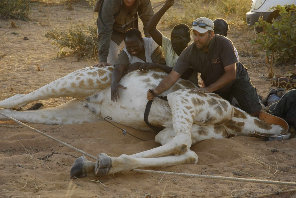 Julian and team collaring giraffes in West Africa (credit: Julian Fennessy)
