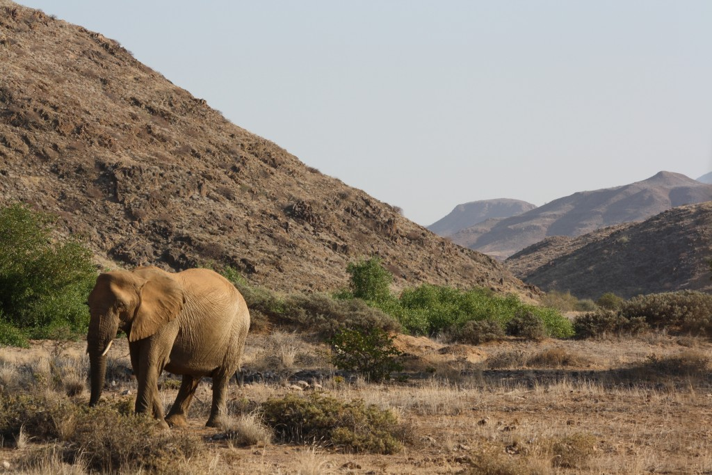 Desert elephants in Namibia.  These are savannah elephants with special adaptations to life in the desert.