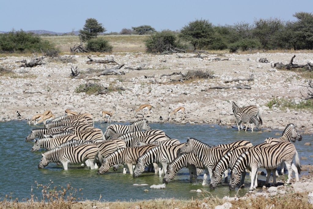 Zebras are one of the more commonly seen species in Etosha National Park, Namibia
