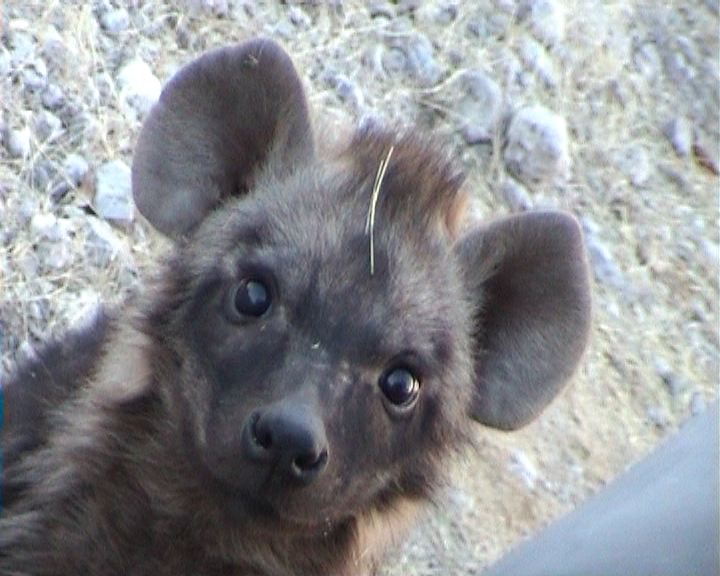 I mean, seriously, who wouldn't love a hyaena pup! Credit: Martina Trinkel