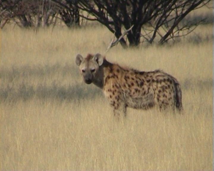 Spotted hyeana in the Etosha grasslands Credit: Martina Trinkel