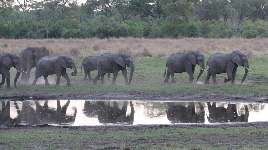 Happy elephants in the Okavango, Botswana, taken on my last group safari there in November 2014