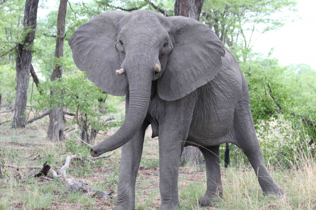 Female elephant Botswana (photo: Tammie Matson)