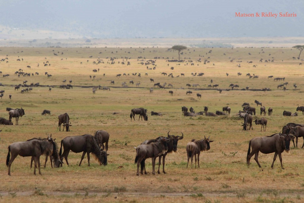 Wildebeest on the Maasai Mara (credit T. Matson)