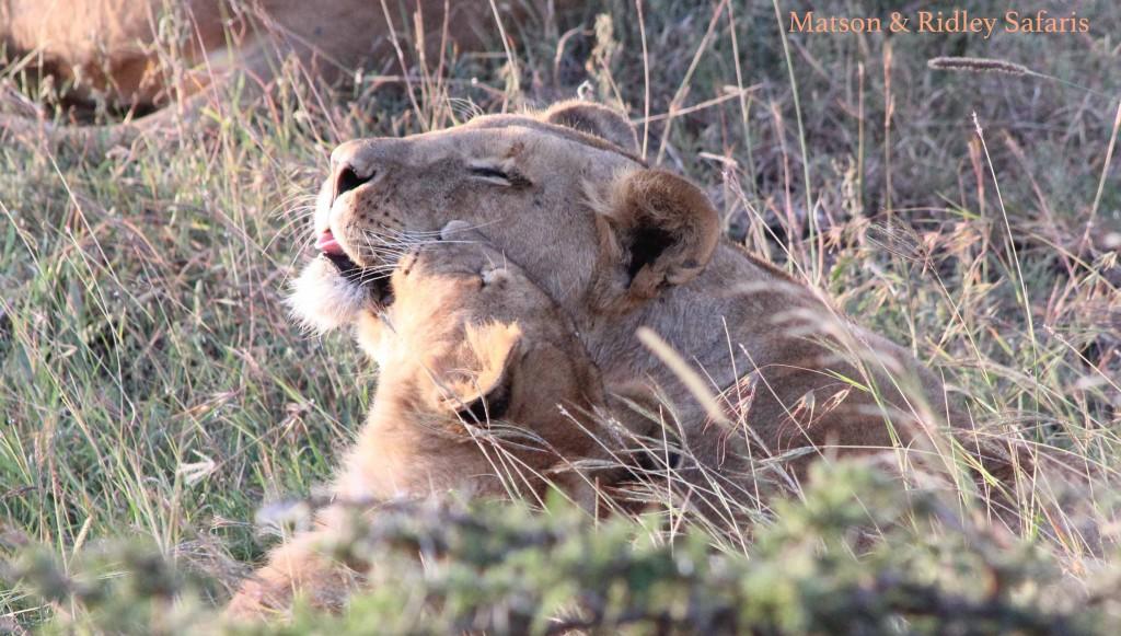 Lion mama love