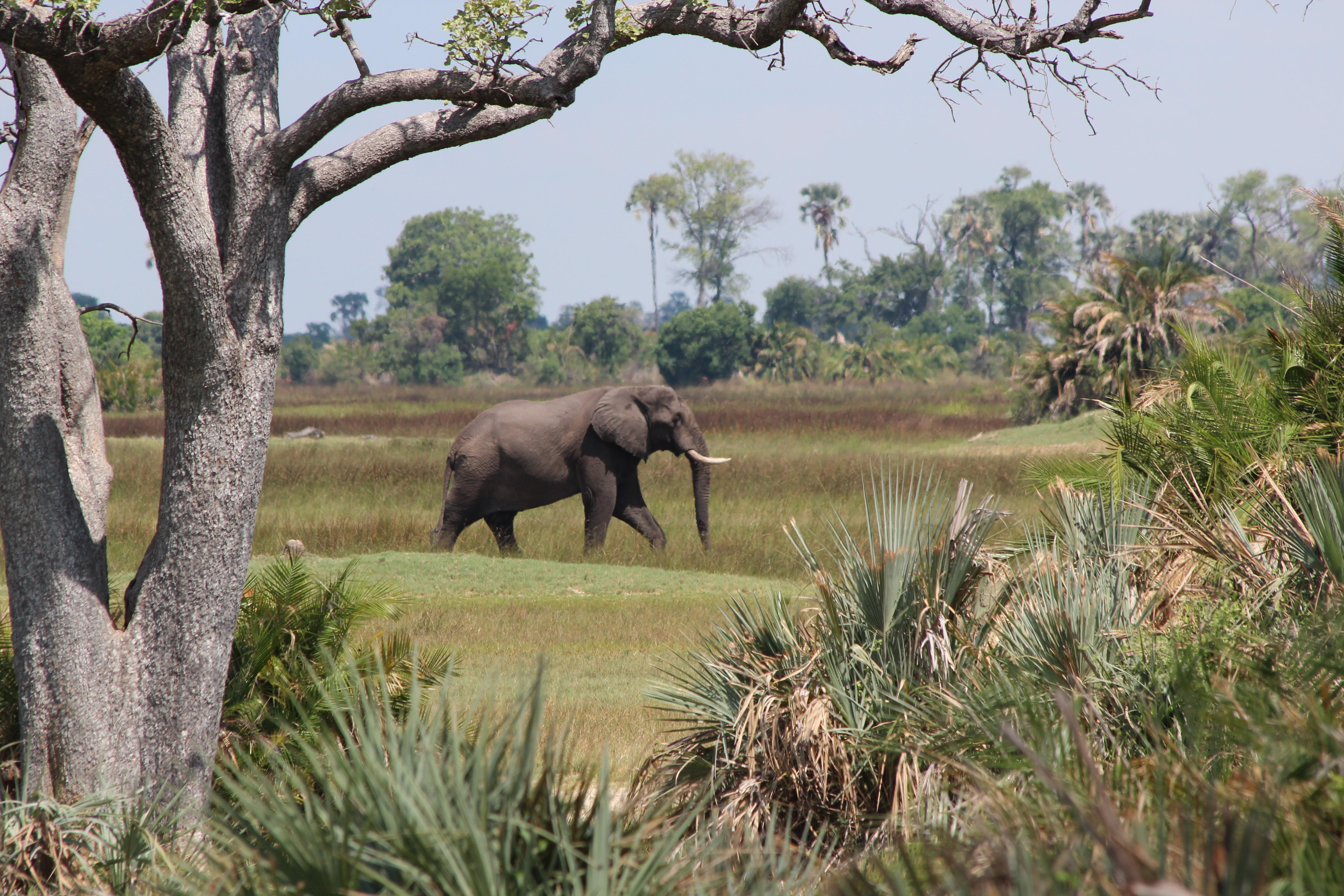 Elephant bull, Botswana (Xigera)