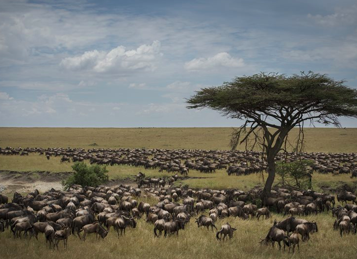 Wildebeest migration at Kimondo Camp, Serengeti, Tanzania (photo: Asilia)