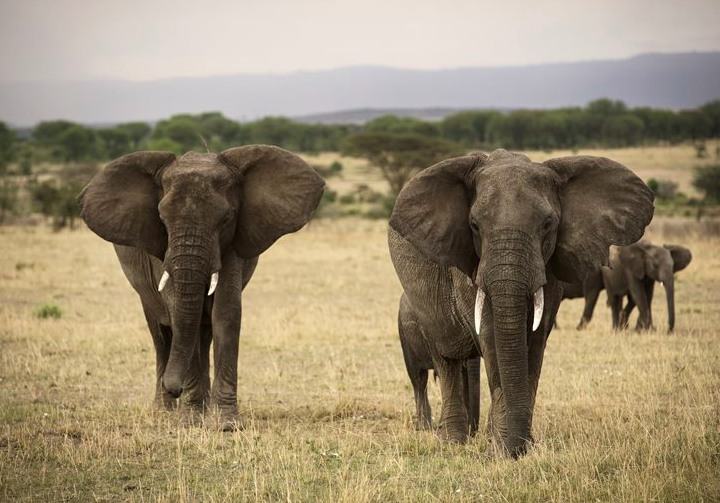 While Tanzania's elephant population has taken a major hit in the past five years, this area provides a safe haven for them (photo: Asilia)
