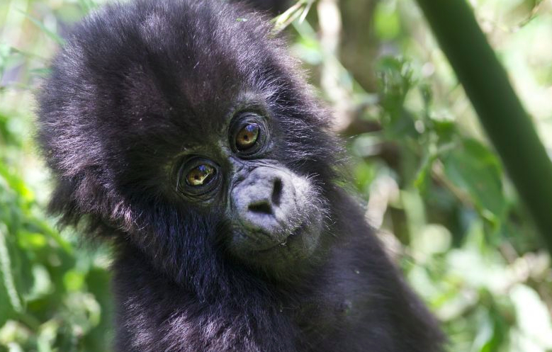 Baby Mountain Gorilla (photo courtesy of Governors Camps)