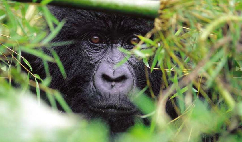 Mountain Gorilla, Rwanda (photo: Sabinyo Mountain Lodge)