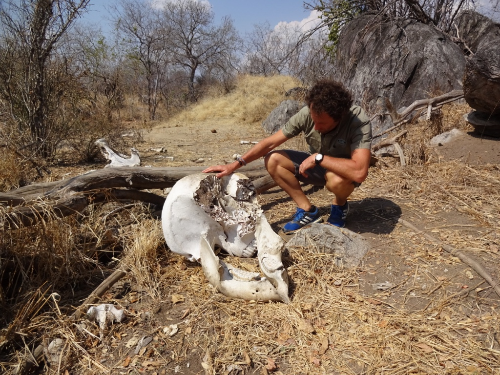 WCS program director in the Ruaha-Kativi landscape investigates the skull of a poached elephant (credit: WCS)