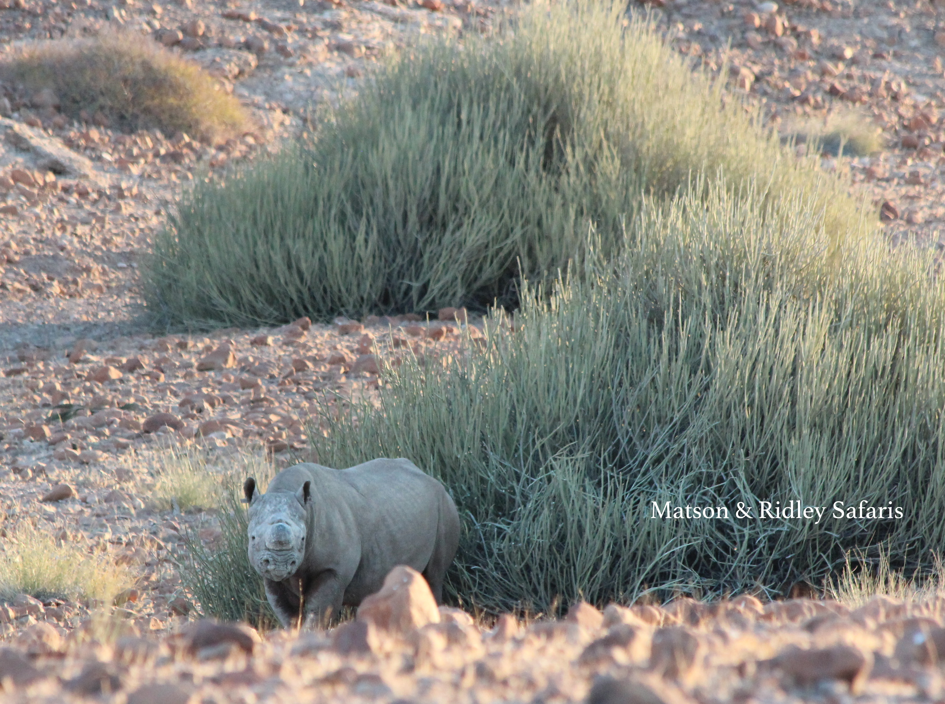 Black rhino in Namibia (photo: Matson)