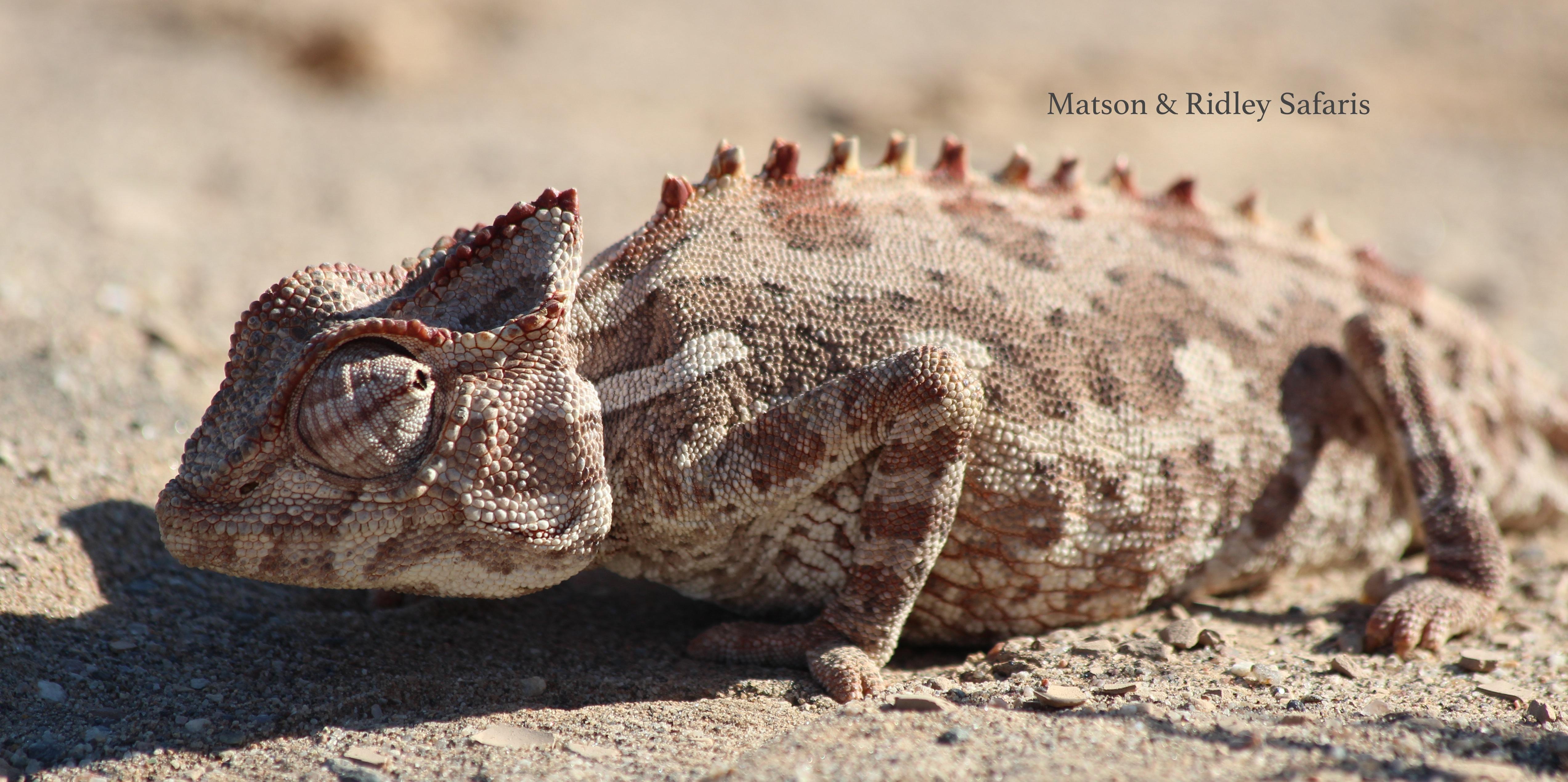 Pregnant chameleon