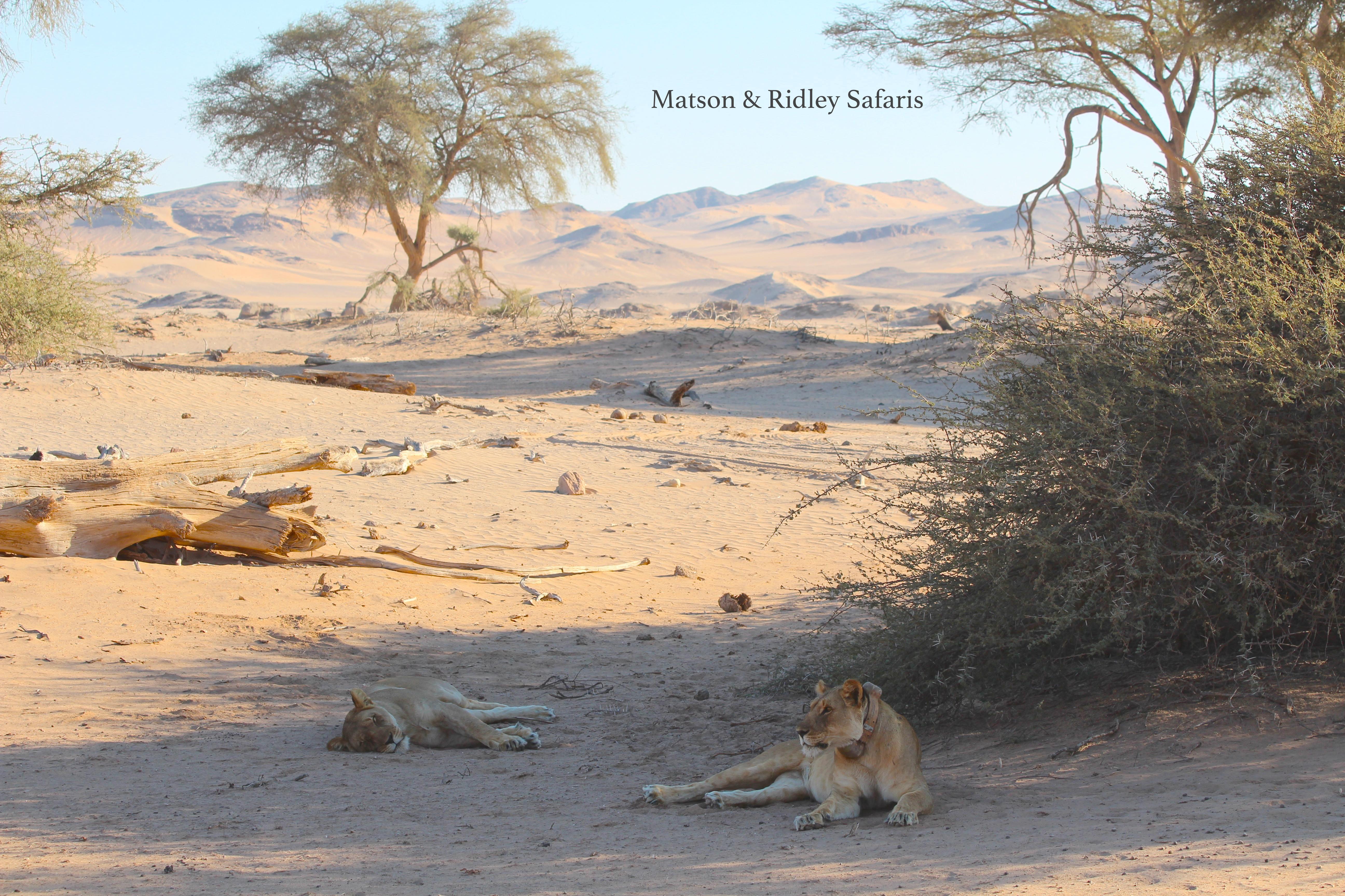 Desert lionesses