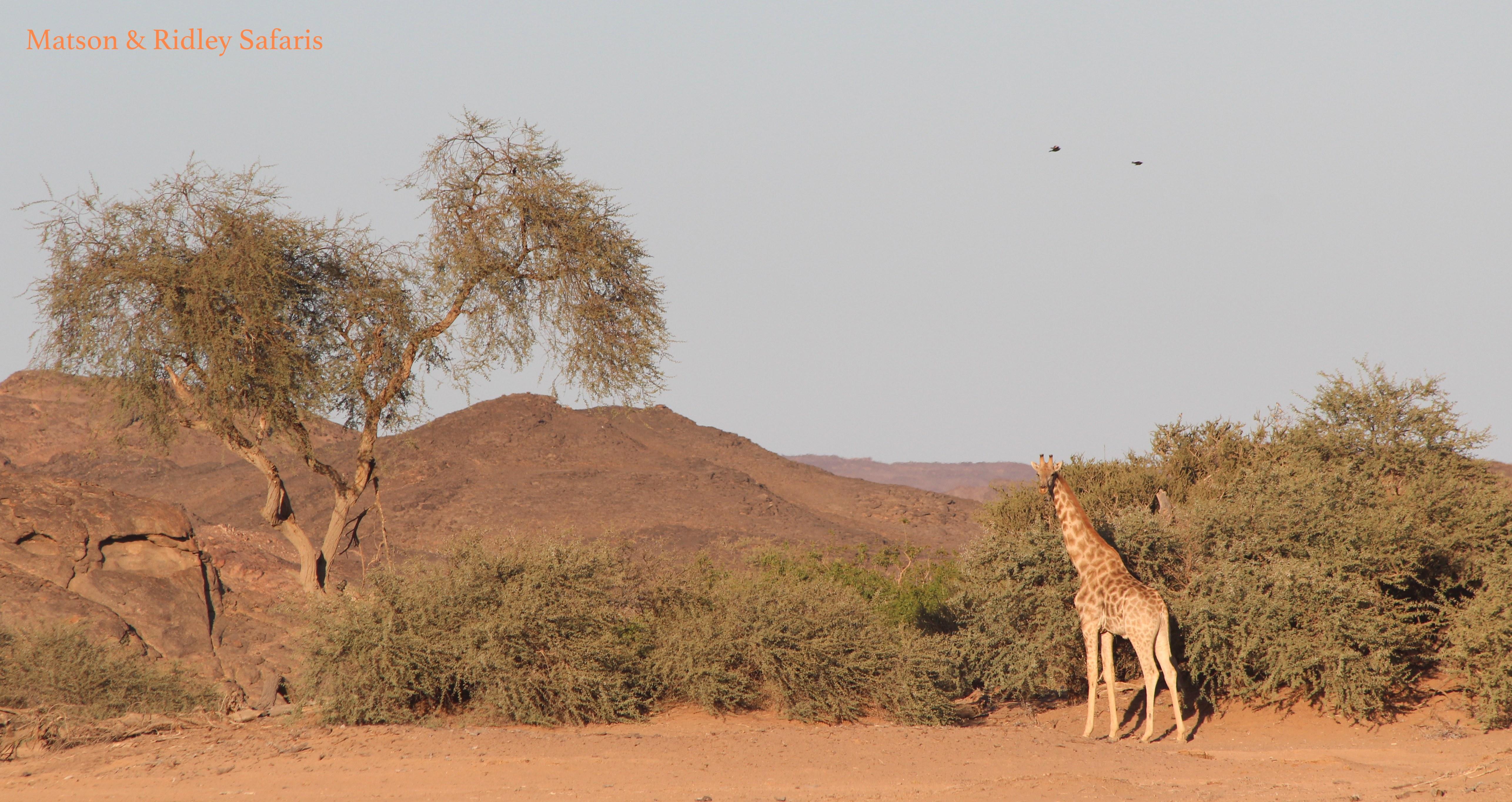 Desert dwelling giraffes