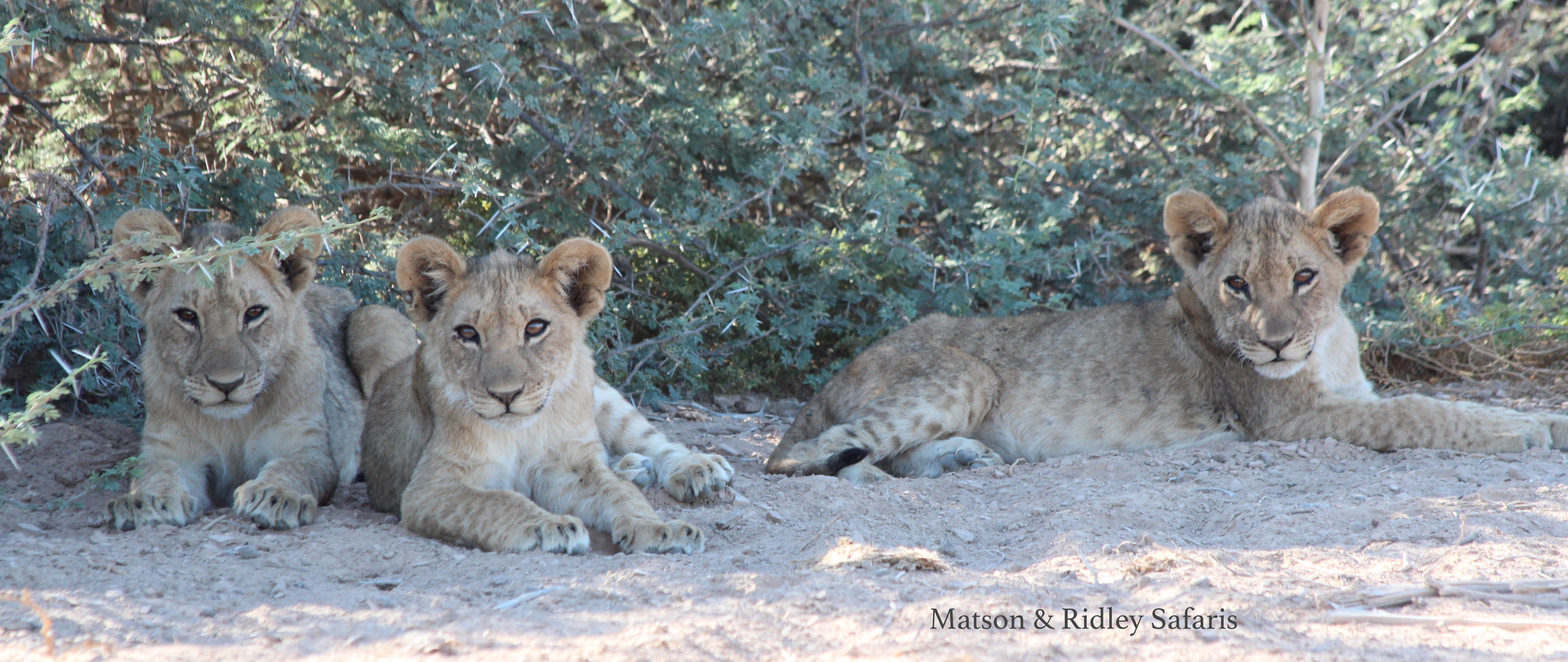 Lion cubs - the next generation of desert-dwelling lions