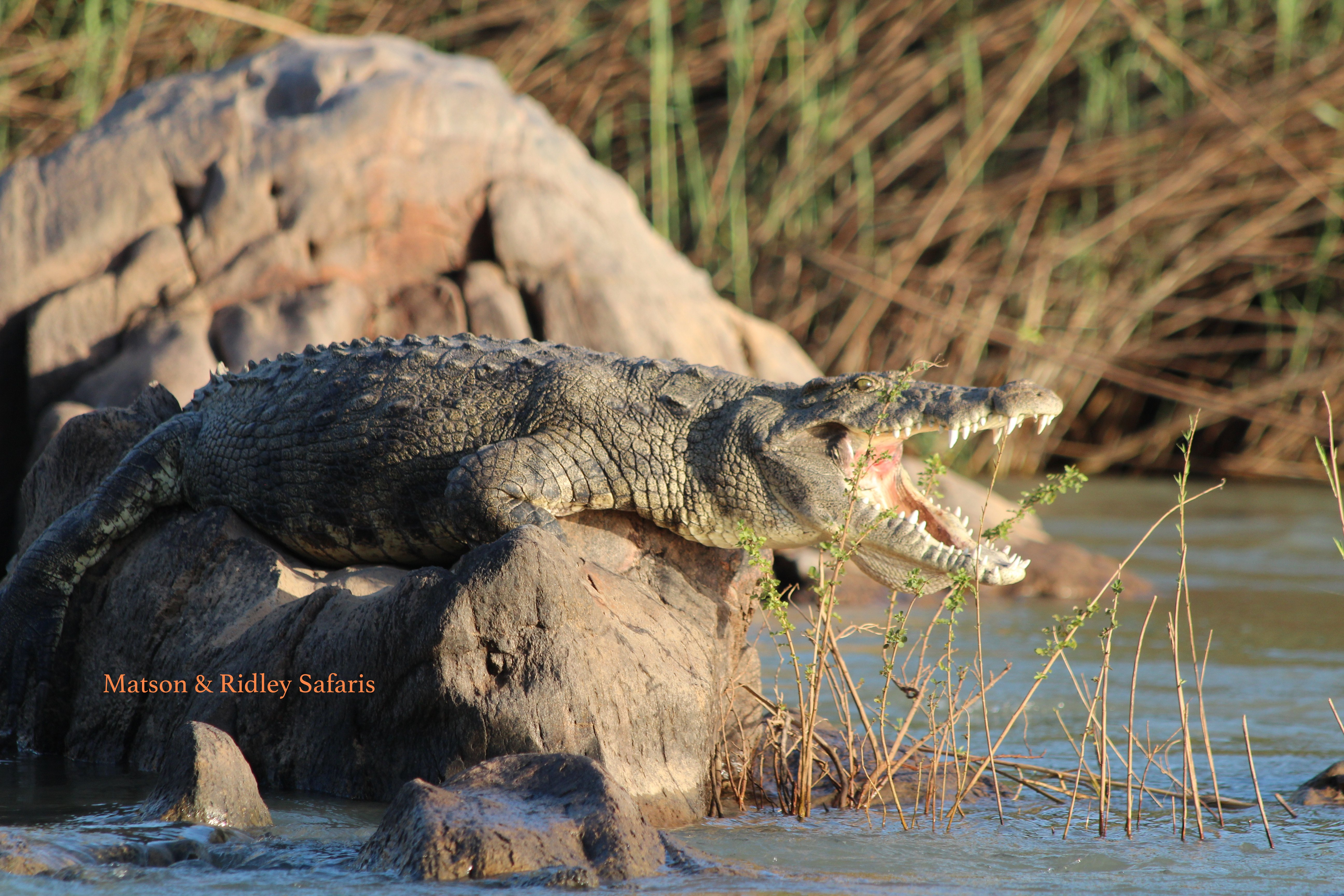 Nile crocodi