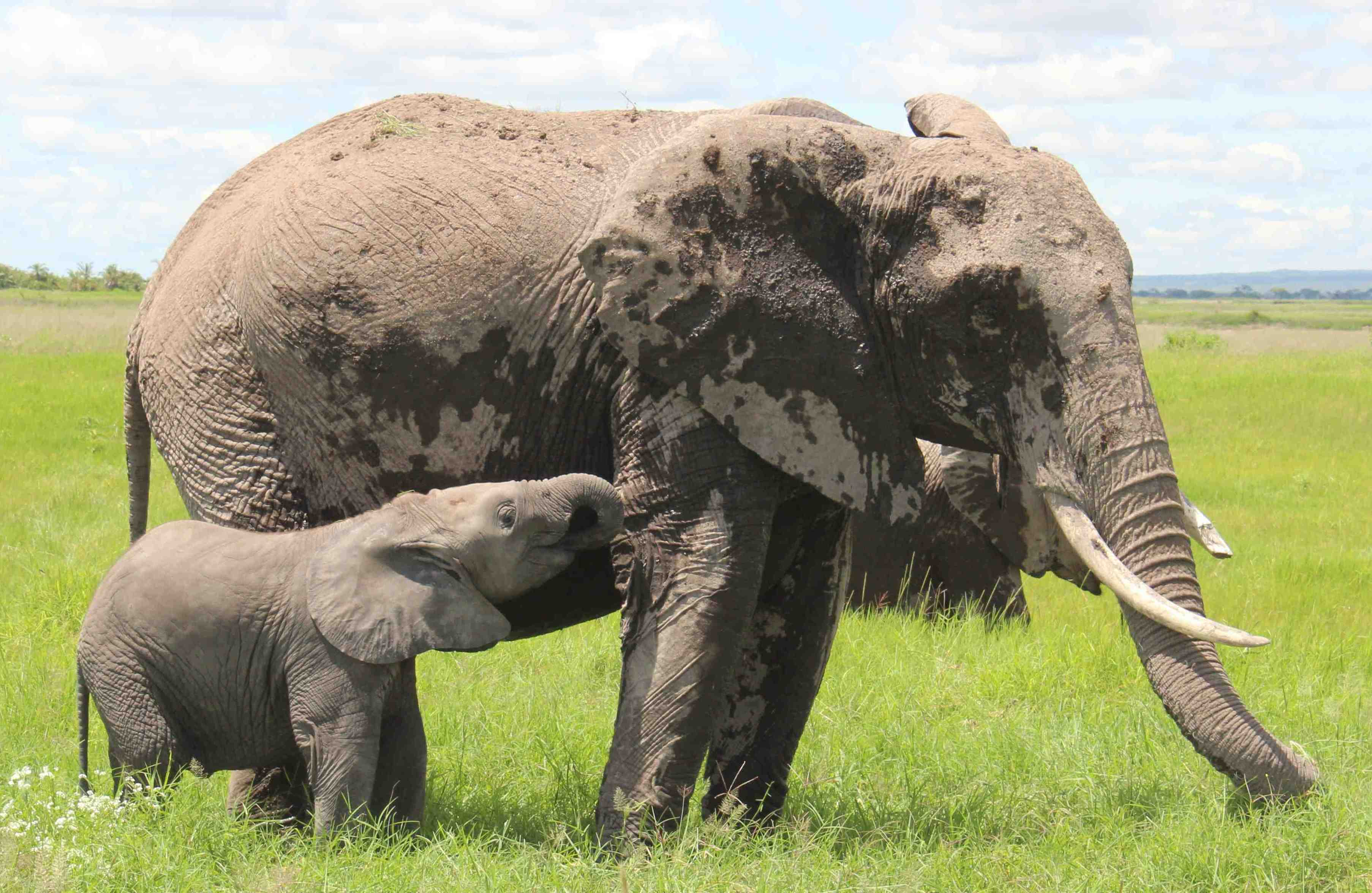 Elephant females stay with their mothers their whole lives, raised by a 'village' of aunts, sisters and grandmas in a tight family network
