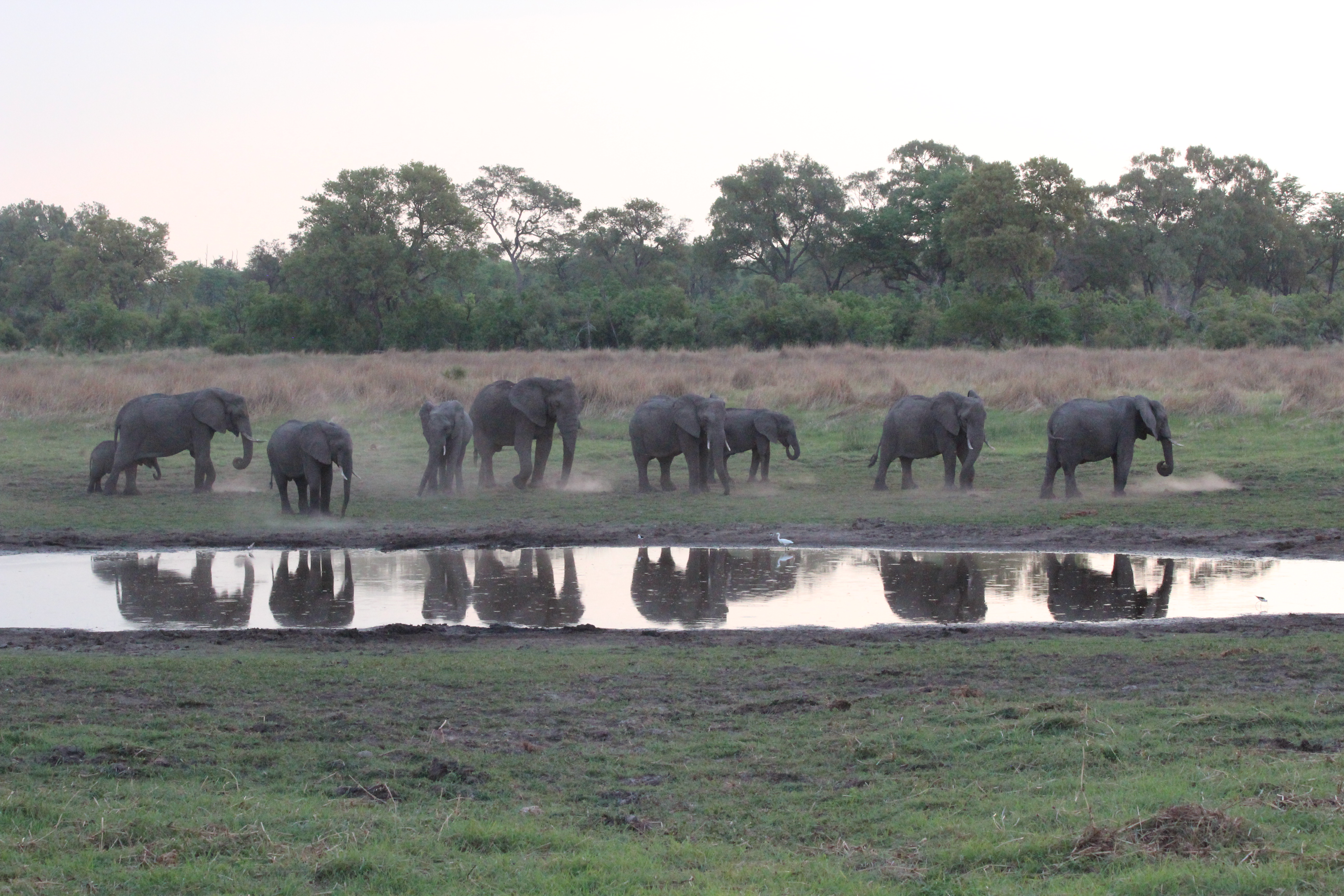Elephants adore water. This magical scene was on the first night of my group safari to Botswana in November 2014, when this herd sauntered in about sunset and took a long slow drink and shower/bath. Banoka Camp.