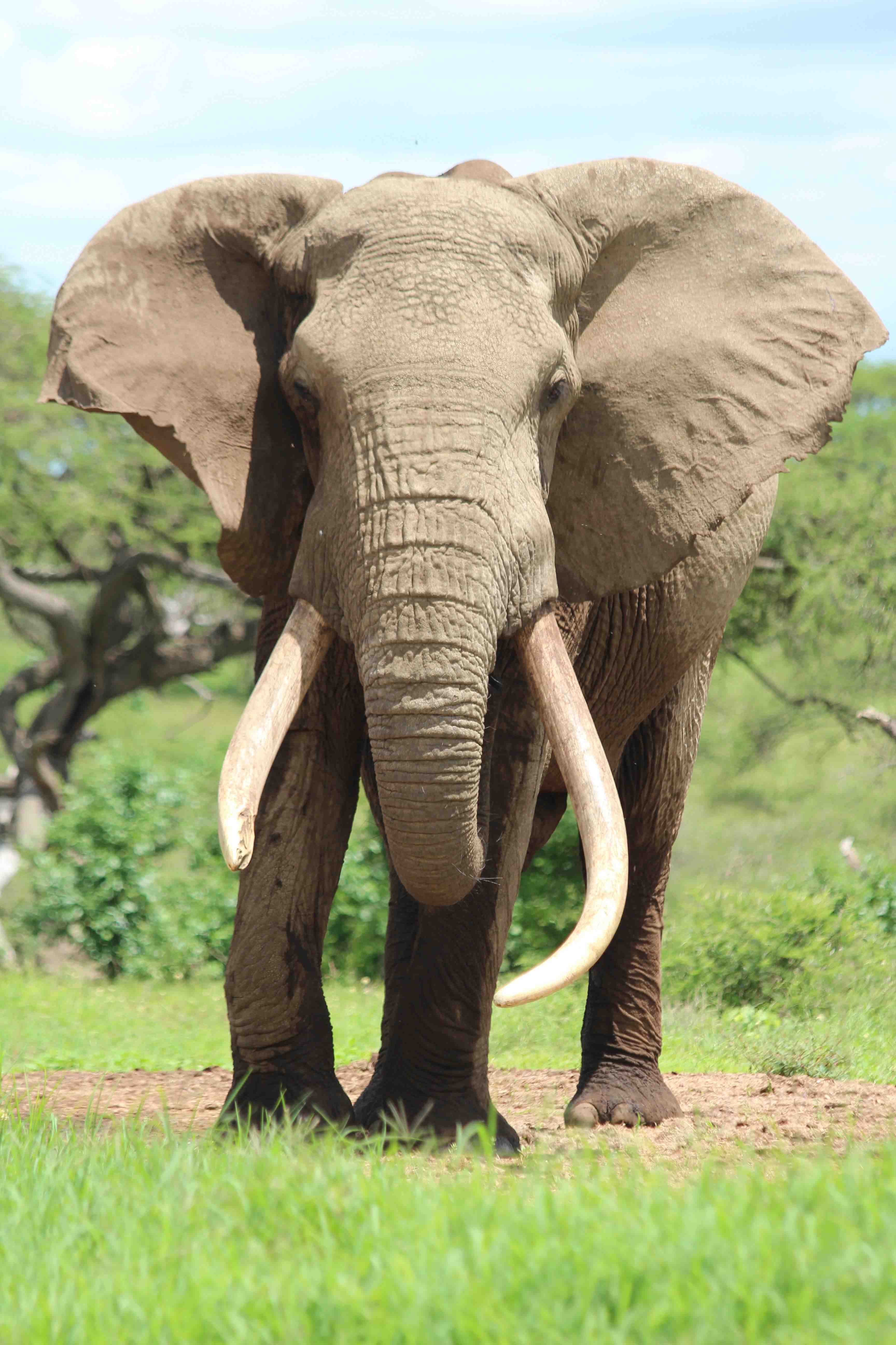 "Big tuskers like this one called ""One Tonne"" at Ol Donyo, Kenya, are under threat by poachers for their ivory. There's still a great need to educate the public in ivory-buying countries that when you buy ivory this kills elephants in the wild."