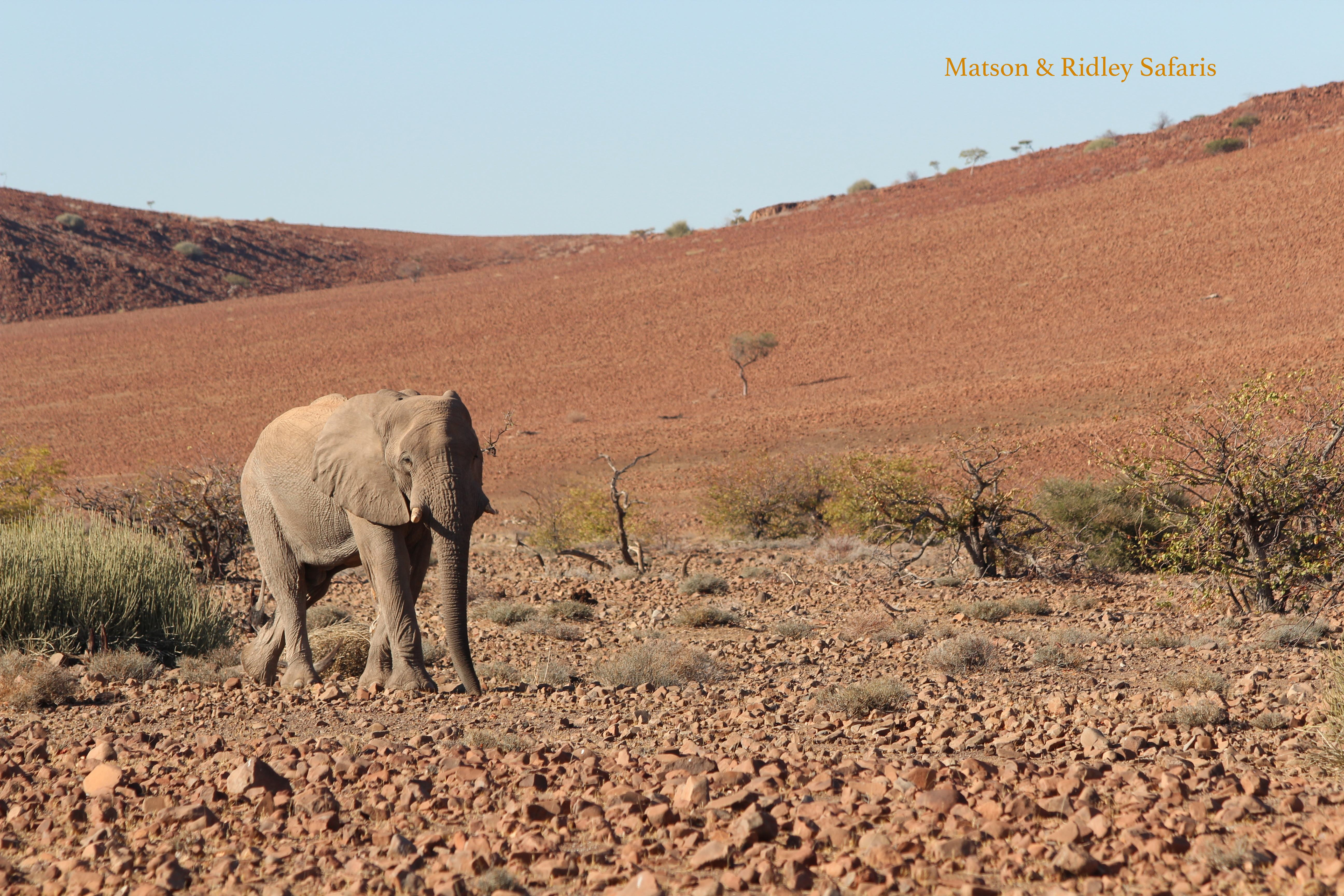 The desert dwelling elephants on Namibia's north west region are perhaps the most incredible of all of Africa's elephants, having to traverse vast areas in order to find enough food to survive in their parched habitat. This photo taken on my Namibian safari near Desert Rhino Camp last year.