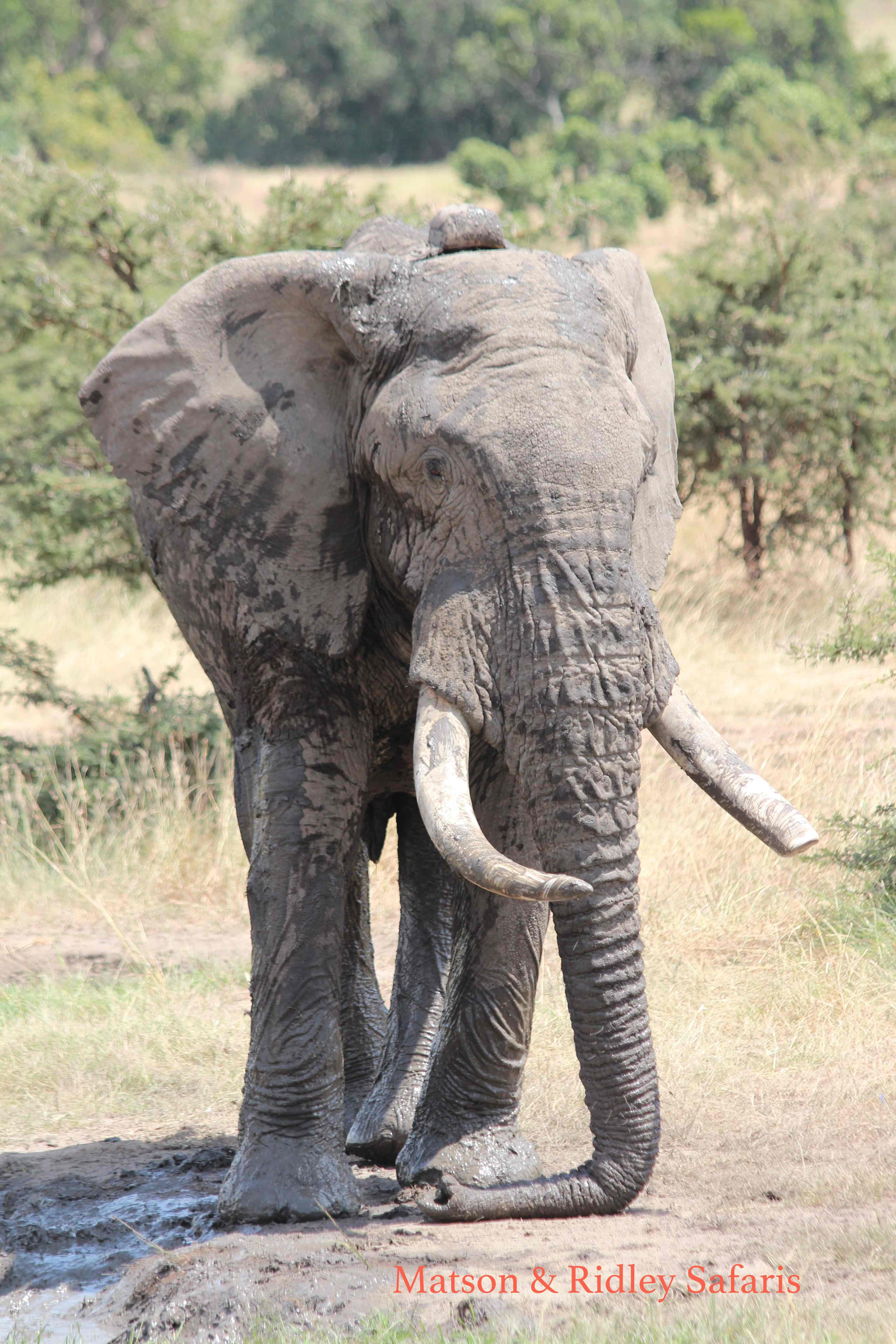 Lovely big elephant bull - taken on my group safari to the Masai Mara in Kenya last year